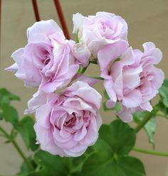 Beautiful Flowers Images, Flower Images, Hanging Window Boxes, Geraniums Garden, Flowers Perennials, Green, Gardening, Floral Bouquets, Roses