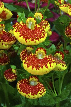 ~~CALCEOLARIA ( lady's purse ) by vishu shillong~~