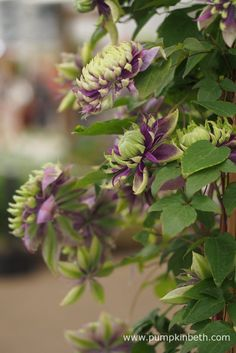 RHS Chelsea Flower Show Plant of the Year 2017 - Pumpkin Beth Betula Pendula, Chelsea Flower Show, Mauve Color, Begonia, Clematis, Shades Of Purple, The Fresh, Blue Flowers, Pumpkin