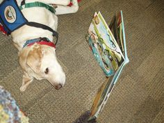 Niji, a working dog for the children's reading program - and also a member of the Petplan family! When she's not helping kids get a leg up on their reading, Niji, an 8 year old Yellow Lab, likes hanging out with her Birman cat pals, Karisa and Jemini, at home.