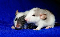 Two Baby Rats