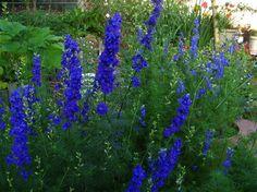 Larkspur. July birth flower.