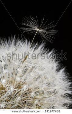 A single dandelion seed escapes the seed head; Spring