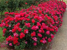 Double Knockout Rose - This is a beautiful rose bush that you don't need to trim off old or dead flowers. this is another great idea for color under the tree in the bed with the tree by the driveway. (pink or red)