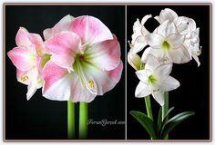 Amaryllis (Çoban Çiçeği), Çoban Çiçeğinin Bakımı ve Yetiştiriciliği - Forum Gerçek