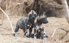 """Wild dog pups are raised in a group effort by the whole pack ©<a href=""""http://www.edwardselfephotography.com/"""" target=""""_blank"""">Edward Selfe Photography</a>"""