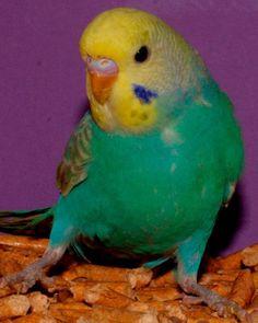Rainbow Wellensittiche: Kleinanzeigen aus Herzogenaurach - Rubrik Vögel