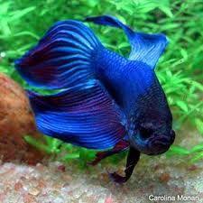 10 meilleurs poissons pour débutants. betta splendens