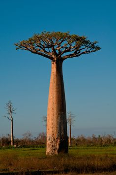 HD wallpaper Cooper Copii: All world beauty shots Baobab Tree, Unique Trees, Old Trees, Bonsai Garden, Tree Photography, Garden Landscape Design, Beauty Shots, Nature Tree, Mountain Landscape
