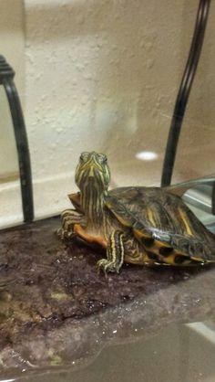 Good pic Cute Tortoise, Baby Tortoise, Tortoise Turtle, Cute Baby Turtles, Small Turtles, Super Cute Animals, Cute Baby Animals, Kawaii Turtle, Red Eared Slider Turtle
