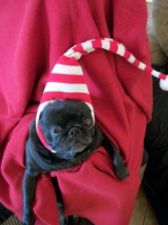 46 best christmas pugs images pug love pugs xmas rh pinterest com