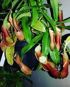 Nepenthes Rainwardtiana