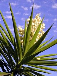 Yucca ( cassava) root - natural cleanser with saponin