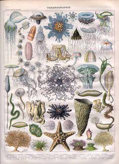 antique victorian starfish | Oceanography Jellyfish Starfish Coral par AntiquePrintsAndMaps