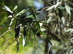 Essaouira - Olive Olive Press, Eco City, Green Belt, Olive Fruit, Ecology, Tourism, Plant Leaves, Olives, Turismo