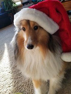 Merry Sheltie Christmas!