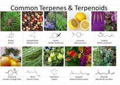 Terpenes: The Future of Cannabis is Medicine, Aromatherapy and Environment Friendly Cleaning Products