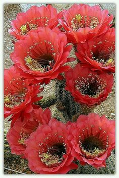 ♥cactus flowers in full bloom my love . is passionate about life love and give his all This day is devoted to my lover .♥cactus flowers in full bloom my love . is passionate about life love and give his all This day is devoted to my lover . Cacti And Succulents, Planting Succulents, Cactus Plants, Planting Flowers, Red Cactus, Flowers Garden, Indoor Cactus, Unusual Flowers, Amazing Flowers