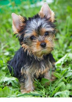 10 Best Yorkshire Terrier Dog Names 10 besten Yorkshire Terrier Hundenamen Yorky Terrier, Yorshire Terrier, Spaniel Puppies, Rottweiler Puppies, Poodle Puppies, Tiny Puppies, Beagle, Shih Tzu, Yorkie Puppy