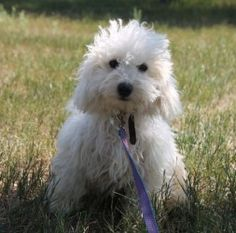 Freddy is an adoptable Bichon Frise Dog in Wall, SD. Freddy and is brother who looks just like him are looking for their forever homes. They are crate trained,excellent with children and other dogs. L...