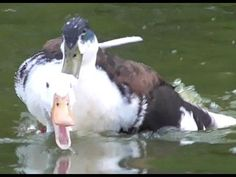 Duck Mating: The Sex Lives Of Ducks - YouTube