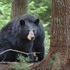 VOTE AGAINST BEAR HUNTING PRACTICES - Animal Rights Groups join in effort for new Maine bear hunting public referendum