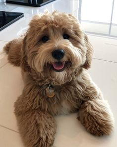 Super Cute Puppies, Cute Little Puppies, Cute Cats And Dogs, Cute Little Animals, Cavapoo Puppies, Dogs And Puppies, Teddy Bear Puppies, Cavachon, Doggies