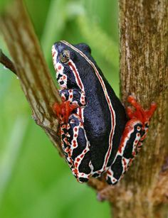 A symphony of color - the painted reed frog (Hyperolius marmoratus) with its wonderful red feet and spotted red/white striping.