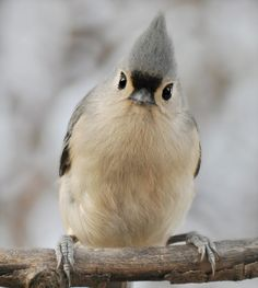 "fairy-wren: "" tufted titmouse (photo by spring disney) """