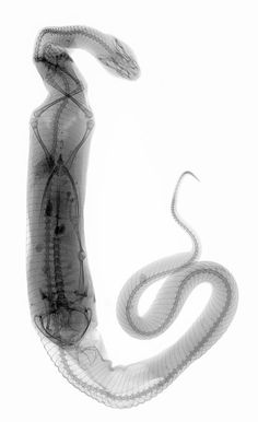 A snake digesting a frog - Xray