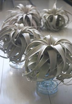 Love these airplants. Super easy to care for (you don't really have to do ANYTHING!) From tohold on etsy.