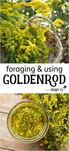 Foraging & Using Goldenrod for natural health herbal medicine home remedies Healing Herbs, Medicinal Plants, Natural Healing, Holistic Healing, Wound Healing, Herbal Remedies, Natural Remedies, Health Remedies, Natural Treatments