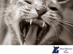 https://flic.kr/p/KPZGTg   Higiene dental para gatos. CLÍNICA VETERINARIA DEL…
