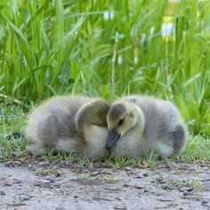 """Otherwise known as """"goslings."""" Here they are again, looking so sweet and content and soft."""