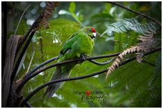 Red-Crowned Kakariki - a native New Zealand parrot.  {photo by Debra Stratford, Design Queen Photography}