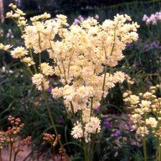 FILIPENDULA ulmaria 'Plena' (Filipendule) : Robuste et peu exigeante, elle atteint toute sa beauté dans les sols ordinaires mais plutôt frais. Floraison brillante, vaporeuse. Forme à fleur double de la Reine des Prés. Feuillage lobé. Fleurs blanches.