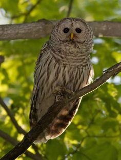 Barred Owl (Strix varia). Photo by Rachel Bilodeau.