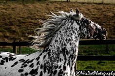 Dante,+Daciano+ Majestic Horse, Beautiful Horses, Animals Beautiful, Magical Creatures, Sea Creatures, Appaloosa, Horse Love, Horse Breeds, Donkeys
