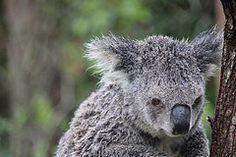 Koala, Currumbin Wildlife Sanctuary