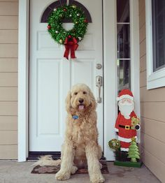 Only 5 more days till Christmas furends!    #goldendoodlesofinstagram #doodlelove #dogs #goldendoodle #bestwoof #buzzfeedanimals #lovemydog #lacyandpaws #dogdailyfeaturesss #excellent_dogs #dogsofinstaworld #ruffpost #barkbox #dog_features #barkpack #instadog #delight_pets #clubdoodle #goldendoodlesofinsta #petsmart #instadogsfeature #dogsofinstagram #california #nikon #nikonD3200 #lexiefeatureme #lizziefeatureme #ozziesfolloweroftheweek #pawtasticfeatures #christmas by ammo.thegoldendoodle