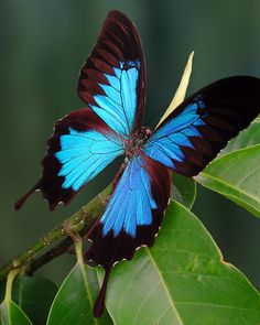 Ulysses Butterfly - a. The Blue Mountain Swallowtail - Papilio ulysses - Northeastern coast of Australia Butterfly Effect, Butterfly Kisses, Butterfly Flowers, Blue Butterfly, Butterfly Wings, Beautiful Butterflies, Butterfly Quotes, Morpho Azul, Blue Morpho