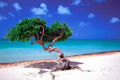 Divi-divi tree in Aruba