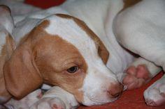 ... BSG puppy...Etoile. Kaplná.