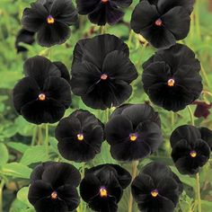 Halloween pansies. Supposed to be annuals but they usually come back and are durable plants!