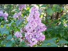 Roses And Violets, Purple Roses, Lilac Bushes, Food Diary, Gardening Tips, Lilacs, Third, Plants, Cellulite