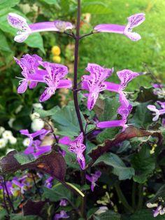 Morado y lila Plants, Lilac, Spring, Flowers, Planters, Plant, Planting