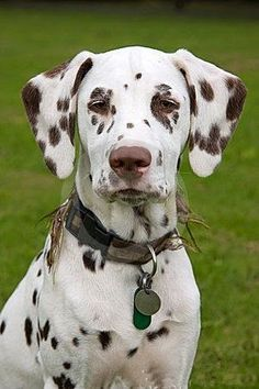 Brown Dalmatian Puppy Dog Liver and White Dalmatian is what I'm use to calling… Cute Puppies, Cute Dogs, Dogs And Puppies, Corgi Puppies, Doggies, Animals And Pets, Baby Animals, Cute Animals, Big Dogs