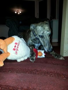 My mum's friends came over from Canada and they bought me my CHICKEN ! I love my Chicken ♡ Lurcher, Vegas, Thats Not My, Canada, Meet, Chicken, My Love, Friends, Stuff To Buy
