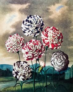Vintage THORNTON Print Group of Carnations Botanical Antique Engraving Art Blue White Red Flowers The Temple of Flora 1807 Vintage Botanical Prints, Botanical Art, Illustration Botanique Vintage, Impressions Botaniques, John Thornton, Flora Print, Engraving Art, Flora Flowers, Chelsea Flower Show