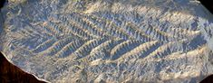 Precambrian Ediacaran Fossils